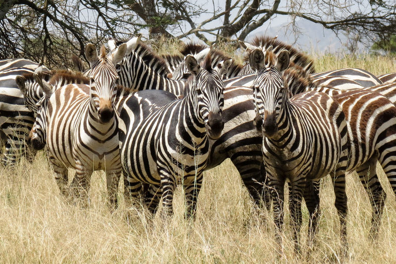 Zebra Group Animal Themes Animal Wildlife Animals In The Wild Animals In The Wild Herd Herd Animal Mammal Safari Safari Adventure Safari Animals Safari Park Striped Veld Watchful Wildlife Wildlife & Nature Wildlife And Nature Wildlife Photography Wildlife Photos Zebra Zebra Zebra Print Zebra Stripes Zebras