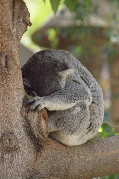 Animal Themes Animals Close Up Close-up Day Koala Koala Bear Koala In Tree Koala Sleeping Koala On A Tree Koala Face Nature Outdoors Wild Animal Wildlife Wildlife & Nature Wildlife Photography