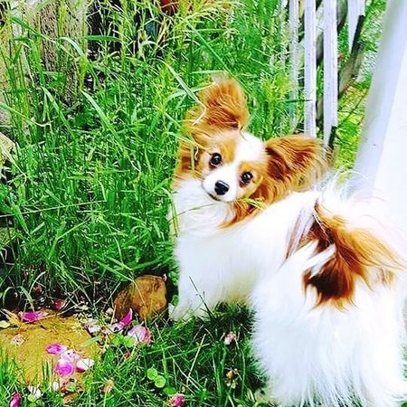 Pet Portraits Dog Pets Domestic Animals One Animal Grass Animal Themes Outdoors Day No People Nature Best Of EyeEm Papillons Rose Gardens Papillon Papillon Dog Dog Photography My Photography Mansbestfriend Eyeem Market Nature Summer EyeEm Gallery EyeEm Best Shots Photooftheday