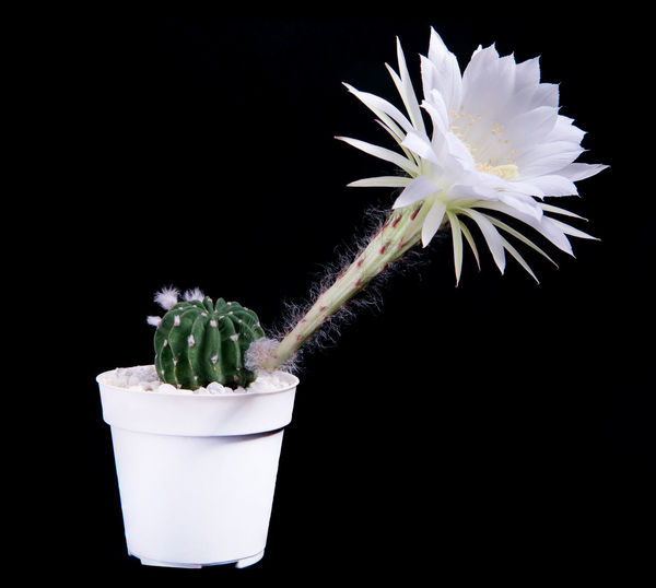 Close-up of white flower pot against black background