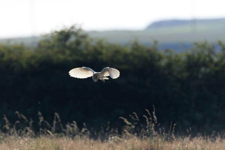 Barn owl flying over field against sky