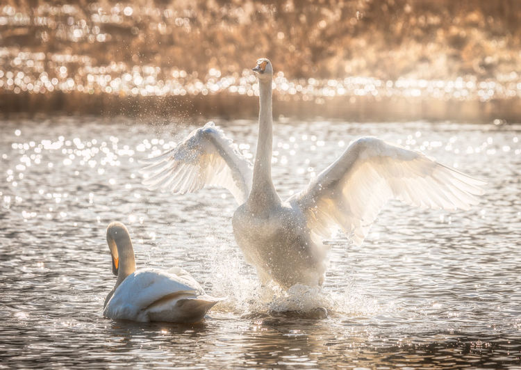 whooper swan flapping its wings Animals In The Wild Water Animal Wildlife Animal Themes Animal Bird Vertebrate Group Of Animals Lake Nature Swan No People Animal Neck Urban Wildlife Whooper Swan Whooper Waterfront Swimming Spread Wings Splashing Animal Family Flapping Two Animals Water Bird