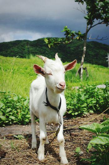 smile:) Goat Smile Iriomote Island Animal
