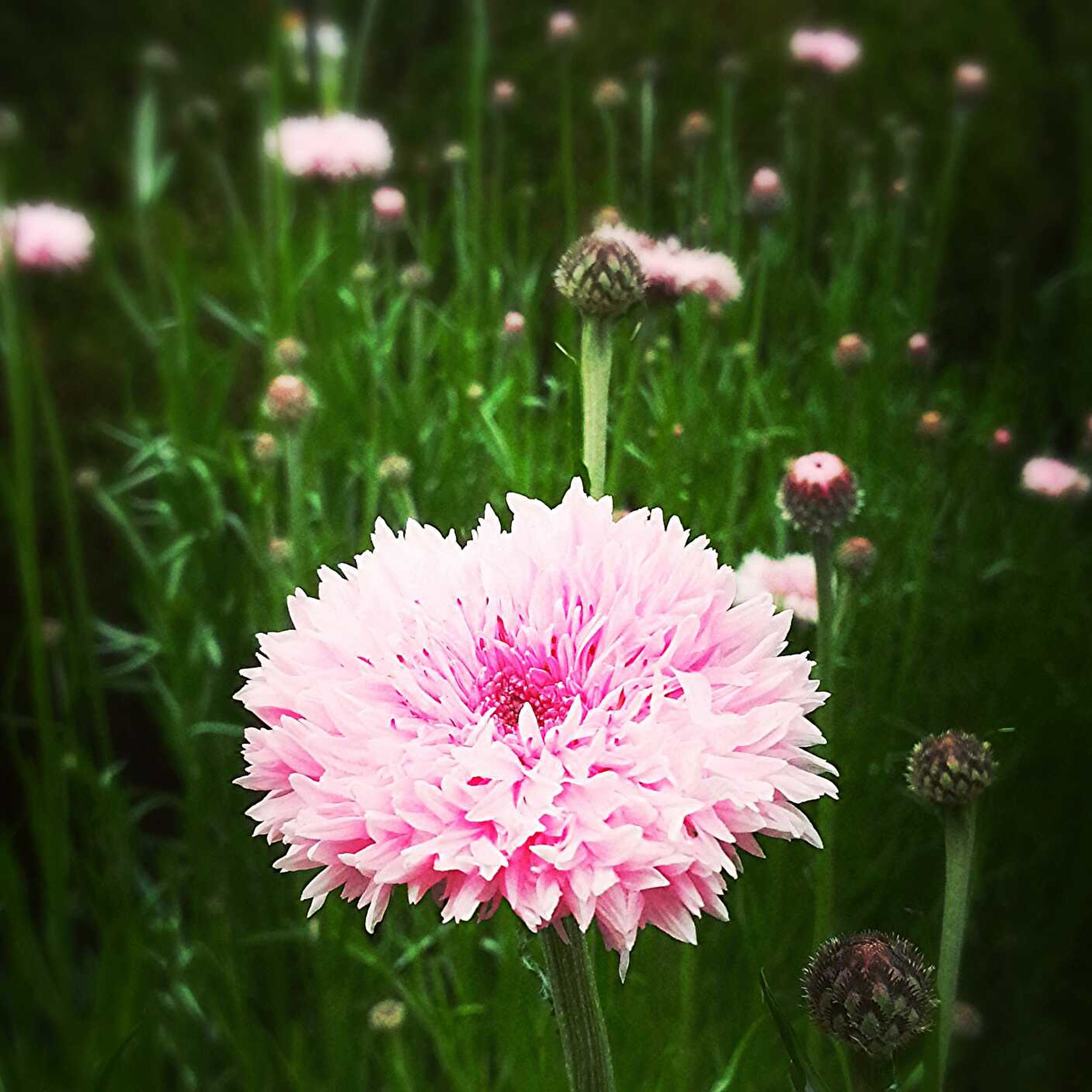 flower, freshness, fragility, growth, petal, flower head, beauty in nature, pink color, blooming, nature, plant, in bloom, focus on foreground, close-up, field, stem, green color, park - man made space, blossom, outdoors