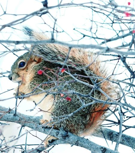Squirrel Winter Wintertime Tree Animal In Tree Branch Branches Animal Themes One Animal Winter Cold Temperature No People Day Nature Animals In The Wild Snow Outdoors Close-up Mammal