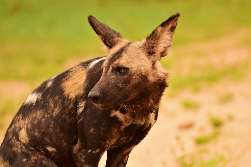 Close-Up Of African Wild Dog