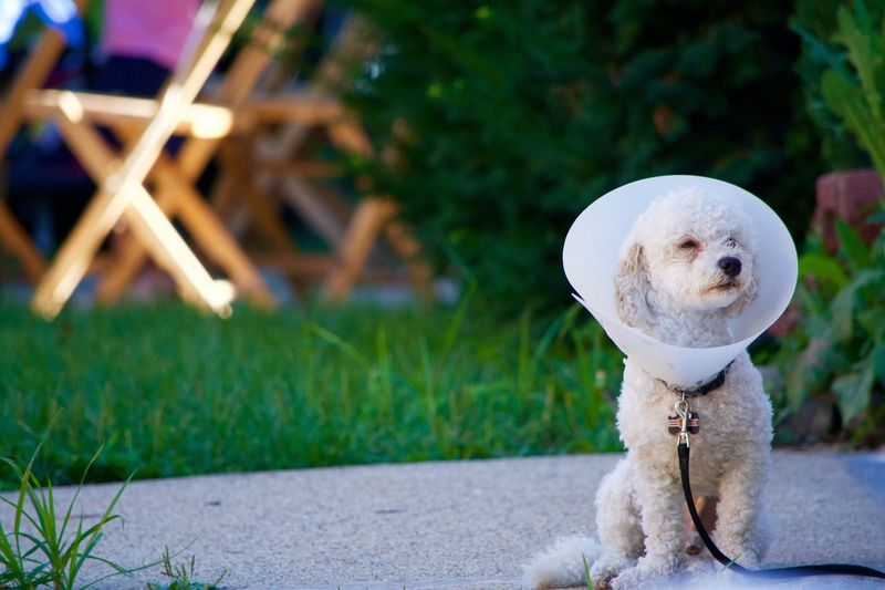 Poodle Wearing Protective Collar Sitting On Footpath