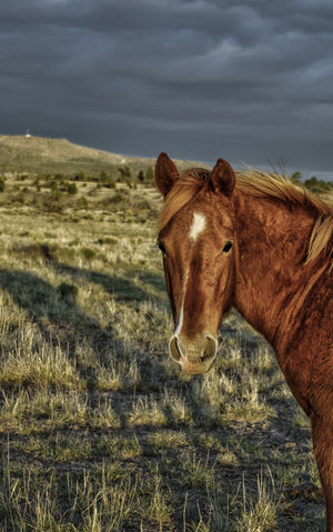 A young horse stands in the setting sun and looks at the camera. Arizona Chestnut Cloudy Desert Golden Natural Nature Pasture Ranch Ranch Life Storm Young Animal Themes Domestic Animals Field Golden Hour Horse Mammal Mountain No People Outdoors Sunlit Sunset Wild Wild Horses