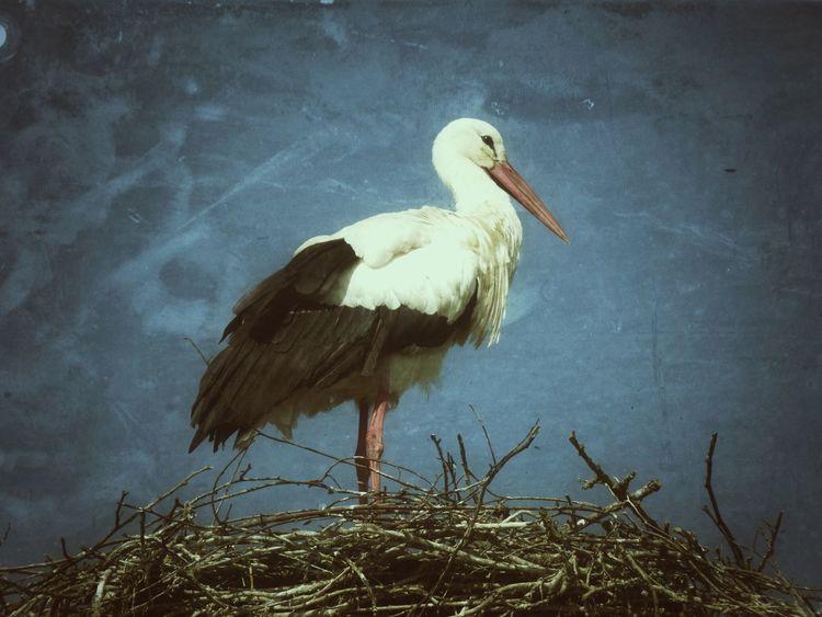 Storch Storchennest Störche Storch Stork Stork Nest Storks Storks Nest Fine Art Photography Fine Art