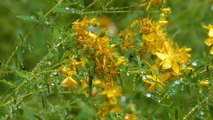 Close-up of wet yellow flowering plants