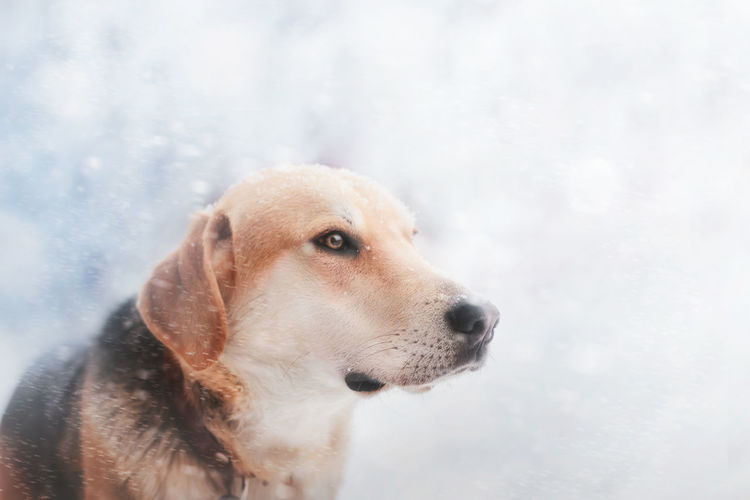 Buran, my dog Russia Sigma Sigma Art Animal Animal Head  Animal Themes Canine Canon Close-up Cold Temperature Day Dog Domestic Domestic Animals Focus On Foreground Looking Looking Away Mammal No People Pets Russianhound Siberia Snow Snowing Winter