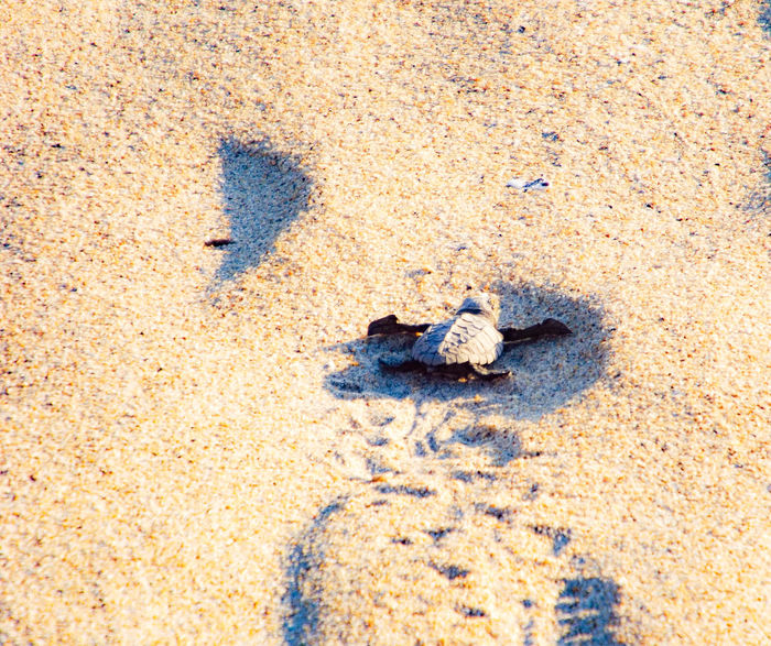 Turtle 🐢 FootPrint Baby Turtle Way To Life Way To Freedom Survivor Sand Beach Day Outdoors Nature