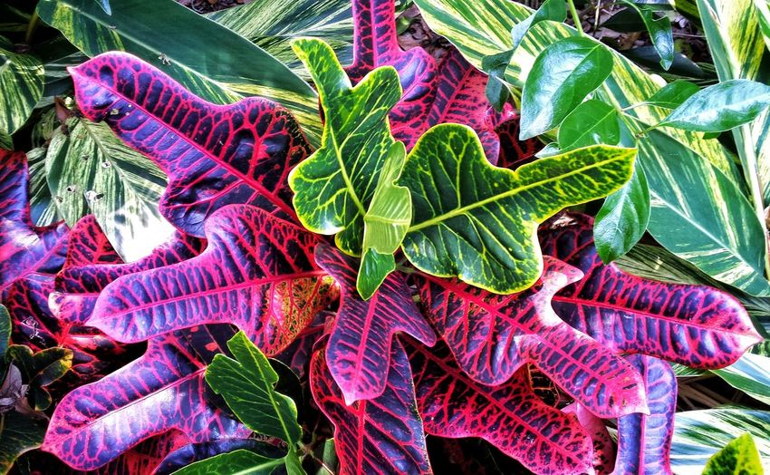 Florida Plants Ginger And Croton Crimson And Green In Our Hammock Corner Florida Beauty