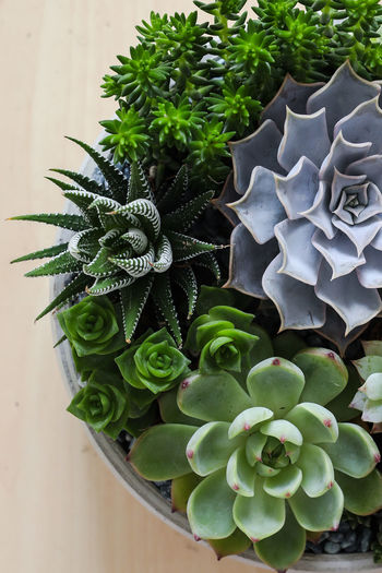 Art And Craft Gardening Home Decoration  Plants Succulents Zebra Beauty In Nature Blooming Cactus Close-up Different Echeveria Freshness Green Color Growth High Angle View Leaf Minimalism Nature No People Plant Potted Plant Same Same But Different Succulent Plant Variation Crafted Beauty