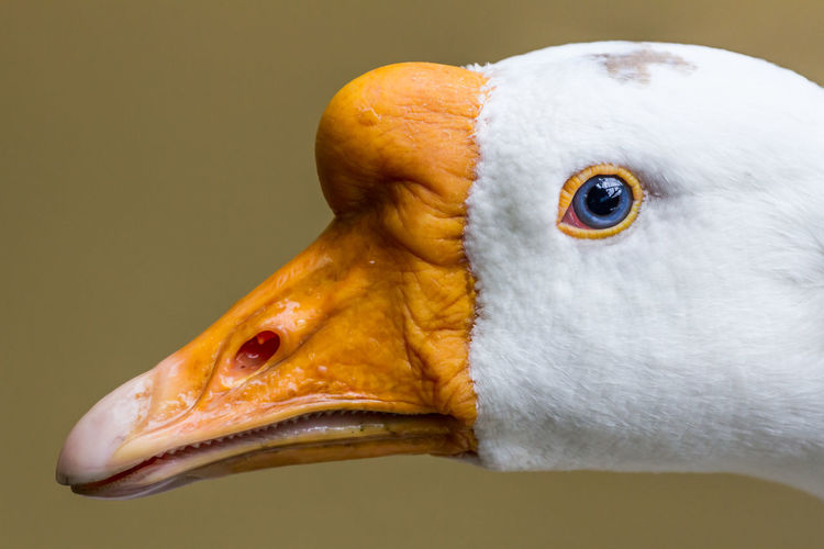 Agriculture Alone Animal Animal Themes Arched Background Beak Beautiful Bill Bird Blue Eye Closely Curious Curved  CutOut Day Examine Eyes Feather  Full Full-Length Fun Funny Go Goose Grass Green HEAD Length Look Muzzle Neck One Orange Rising Running Sight Single Snout Summer Waterfowl White Wildlife Yellow
