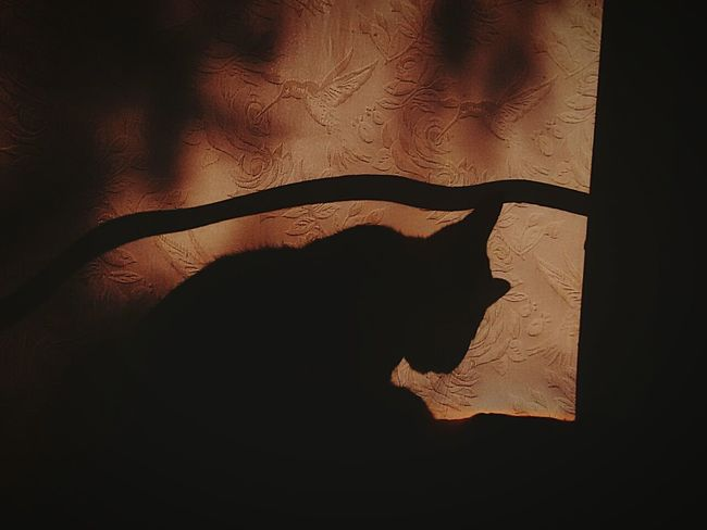 Shadow Silhouette Curtain Frosted Glass Only Women Indoors  One Person Adult Adults Only People One Woman Only Cat Photography Cats Of EyeEm Window Nature Silhouette Sunlight Adult Cat Bat - Animal Close-up Day Mammal Remember History Nolstagic