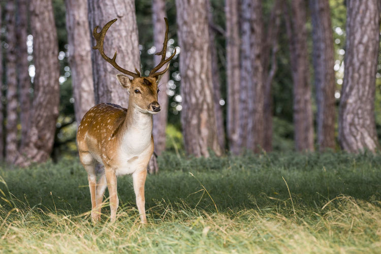 Animals In The Wild Deer Animal Themes Forest Grass Nature No People Outdoors