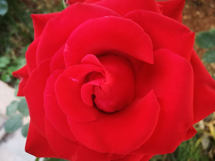 Eyeemgarden Eyeemlove Flower Nature Redrose 🌷🌷🌷 Red First Eyeem Photo Garden Photography
