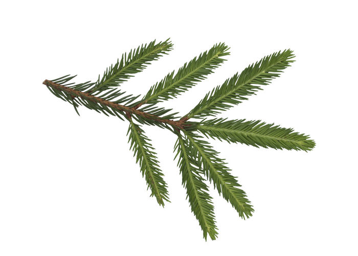 Closeup of fir branch isolated on a white background White; Decoration; Green; Tree; Christmas; Branch; Fir; Needle; Nature; Spruce; Ball; Evergreen; Coniferous; Background; Holiday; Plant; Xmas; Decorative; New; Year; Winter; Season; Pine; Natural; Flora; Celebration; Fresh; Foliage; Color Leaf Plant White Background Plant Part Green Color Close-up Studio Shot No People Cut Out Nature Growth Beauty In Nature Indoors  Healthcare And Medicine Medicine Day Herb Natural Pattern Copy Space Leaves Palm Leaf