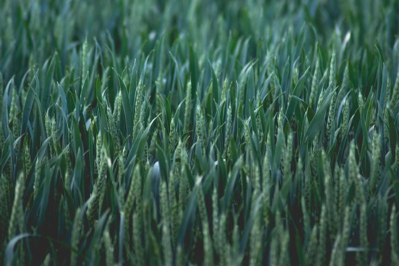 Green Color Grass Growth Field No People Nature Full Frame Backgrounds Day Ear Of Wheat Agriculture Outdoors Plant Wheat Beauty In Nature Cereal Plant Freshness The Great Outdoors - 2017 EyeEm Awards