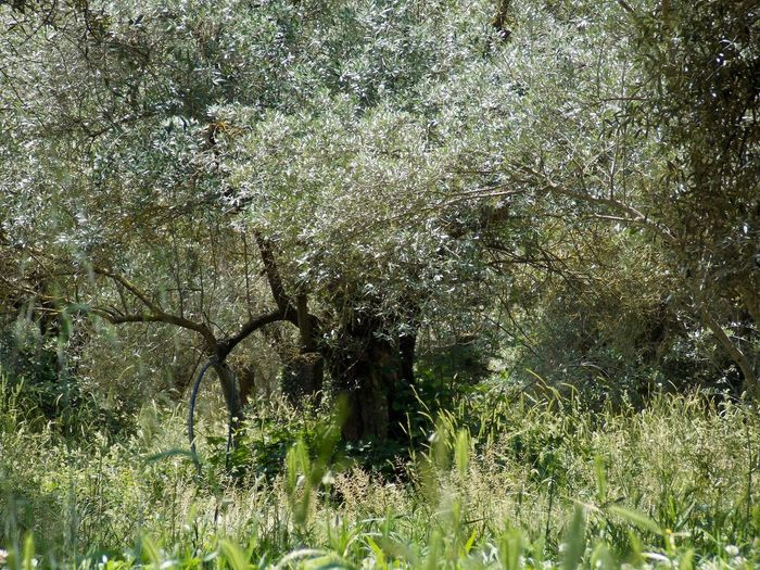 Villa Hadriana Olive Tree Background Beauty In Nature Branch Day Grass Growth Landscape Nature No People Outdoors Plant Shimmering Sunlight Silver Leaves Tree