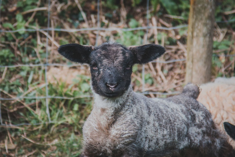 Mammal Animal Themes Animal Domestic Animals Vertebrate One Animal Livestock Portrait Looking At Camera Focus On Foreground Day Sheep Animal Wildlife Domestic Land Pets No People Nature Young Animal Field Herbivorous Animal Head
