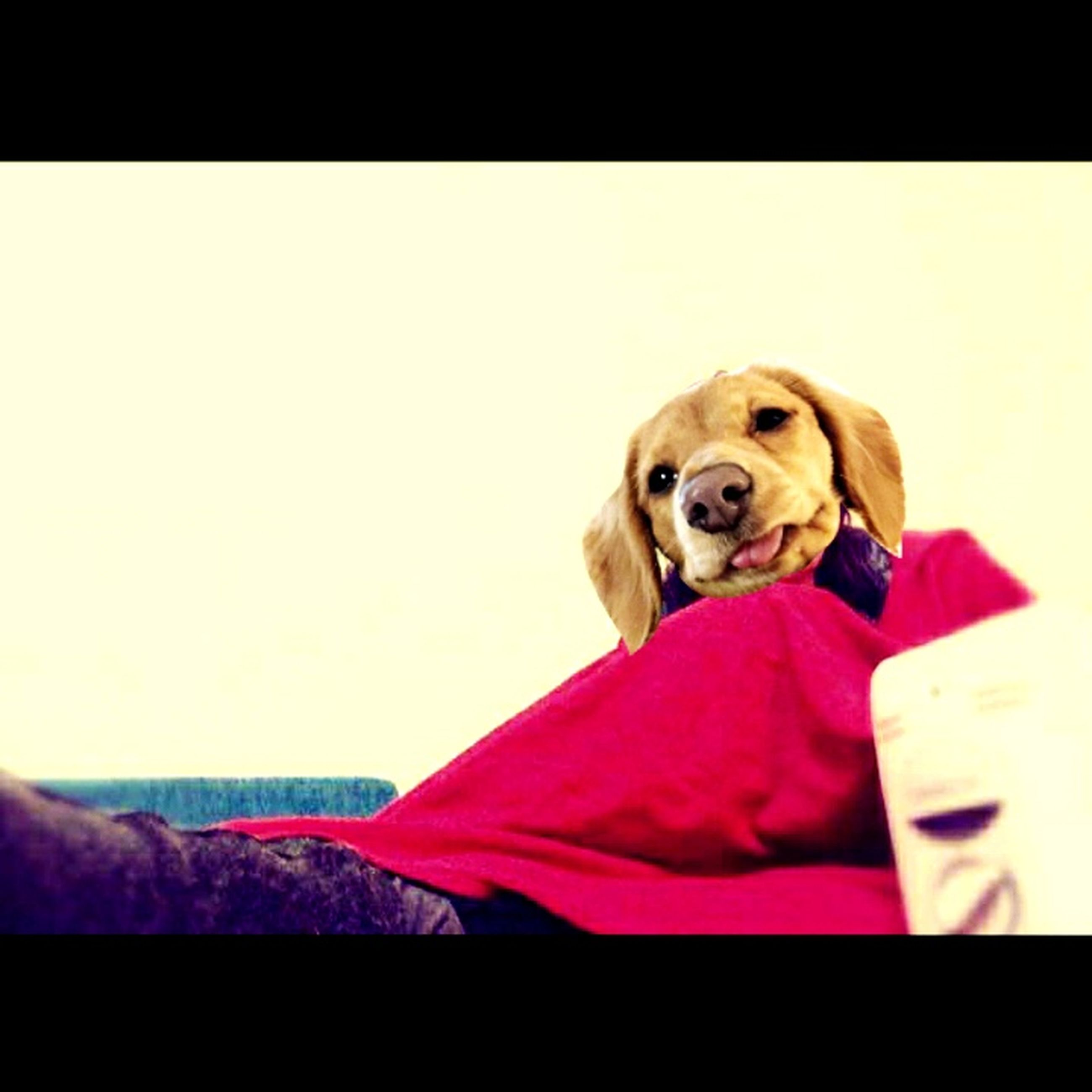 dog, pets, indoors, domestic animals, one animal, portrait, animal themes, transfer print, copy space, looking at camera, auto post production filter, sitting, mammal, home interior, red, cute, relaxation, front view, close-up, studio shot