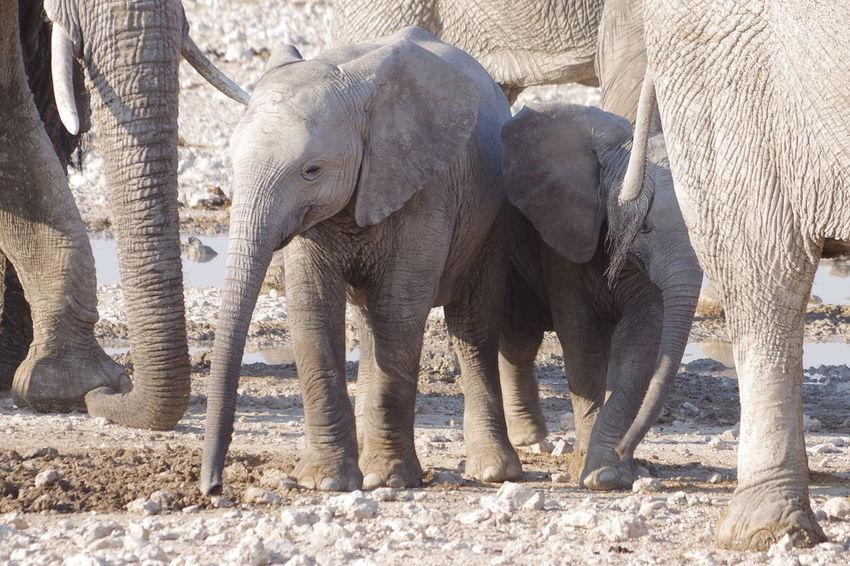 Kindergarten Namibia Namibia Landscape Namibia Desert Etosha National Park Etosha African Elephant Animal Trunk Elephant Safari Animals Elephant Calf Young Animal Animal Family Safari Animal Skin Animal Body Part