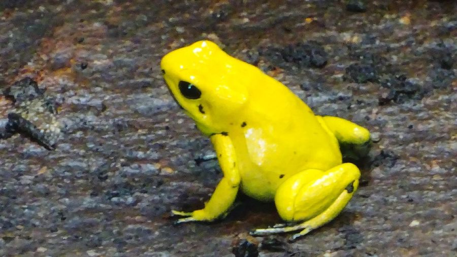 Paint The Town Yellow Yellow One Animal Animal Wildlife Animals In The Wild Animal Themes Frog Poison Arrow Frog