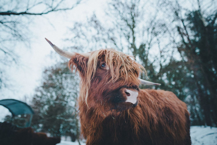 Mammal Animal Animal Themes One Animal Snow Winter Domestic Animals Pets Livestock Cold Temperature Domestic Vertebrate Tree Nature Focus On Foreground Animal Hair Day Highland Cattle Animal Wildlife No People Herbivorous Animal Head  Highland Cow