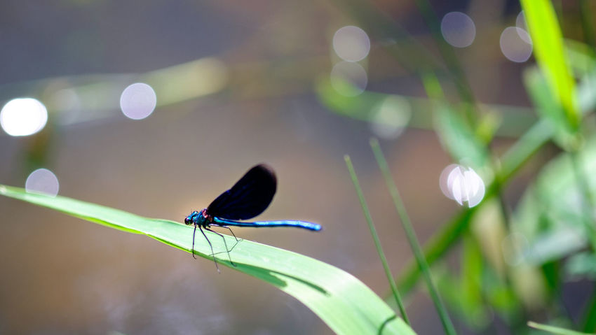 Prachtlibelle an kleinem Bachlauf Animal Themes Animal Wildlife Animals In The Wild Beautiful Demoiselle Beauty In Nature Bokeh Close-up Damselfly Day Dragonfly Focus On Foreground Fuji-xe2s Green Color Insect Leaf Nature No People One Animal Outdoors Prachtlibelle Tenebrio.photos Zeiss-planar