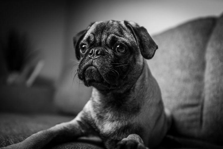 cute Puppy Dog Pug black and white portrait Dog Puppy One Animal Canine Domestic Mammal Domestic Animals Pets Indoors  Blackandwhite Cute Cutepets Pug Life  Pug Love Portrait Eyes EyeEm Animal Lover Lovedogs Sweet Young Adult Adorable Animal Face Baby Purebred Dog Beige