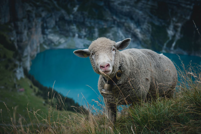 High angle portrait of sheep on hill against lake