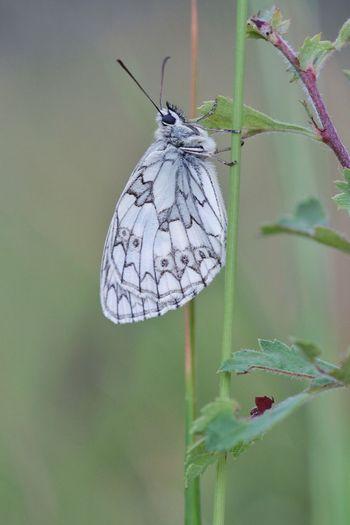 Marblewhite Dambordje Butterfly Butterflies Vlinder Vlinders Virion Virionvallei Belgium. Belgique. Belgie. Belgien. Etc. Nature Wildlife Wild Flower