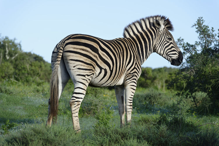 Side View Of Zebra Standing On Grass
