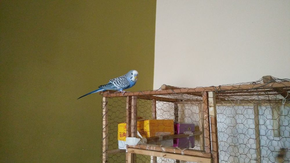 Animal Themes Animal Wildlife Animals In The Wild Bird Blue Bird Budgerigar Budgie Nature One Animal OnePlusX Perching Pets RBK Smartphonephotography