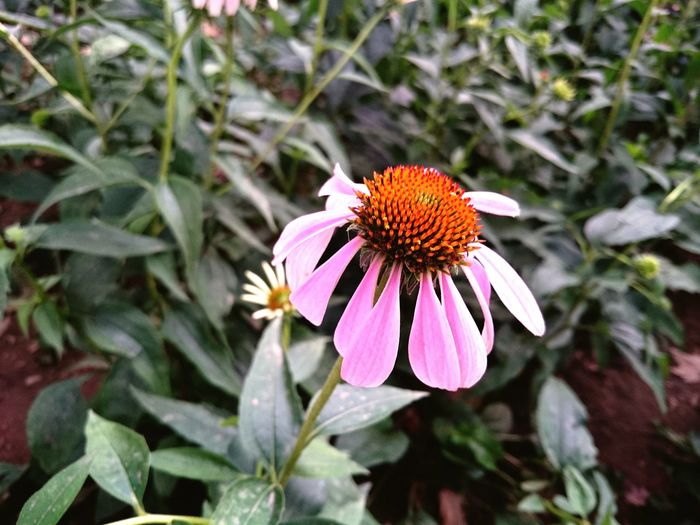 争秀 Flower Head Eastern Purple Coneflower Flower Insect Petal Coneflower Animal Themes Close-up Blooming Plant