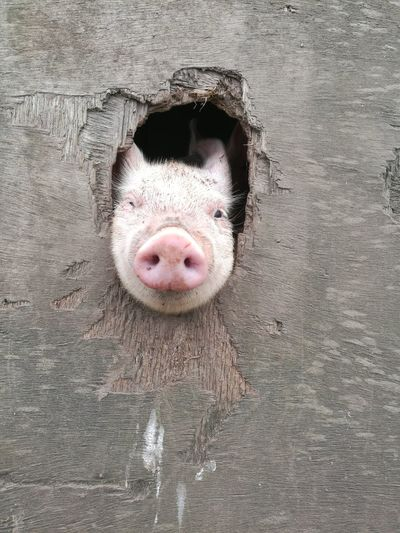 Portrait Of Pig Peeking Through Hole On Wooden Plank