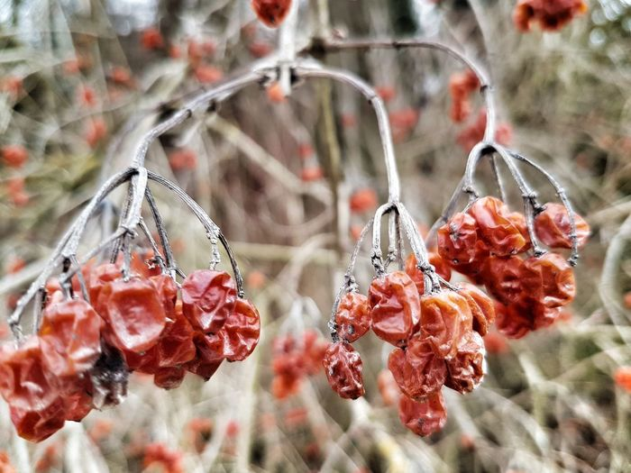 Autumn's leftovers Nature Winter Berries On A Branch Berries Red Hanging Close-up
