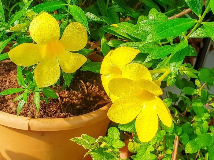 Alamanda Flower Yellow Close-up Plant Flower Head Petal Blooming EyeEmNewHere