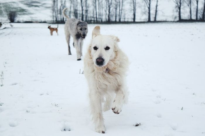 Winter Cold Temperature Snow Pets Looking At Camera Animal Themes Portrait Outdoors Togetherness Domestic Animals January 2017 How's The Weather Today? Winter 2017 Wartberg Dogs Of Winter Dogwalk Dog Of The Day Dogs Of EyeEm Dogslife Irish Wolfhound Cearnaigh Running Fieldscape Weather