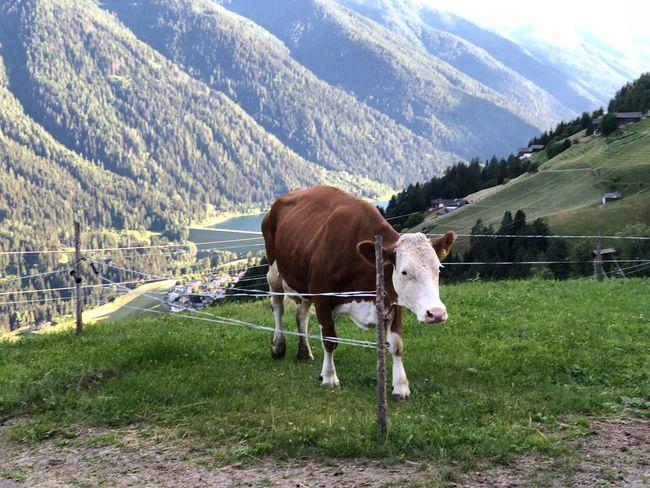 Ultental South Tyrol Alto Adige Südtirol Italien Italy Cow Italia Animal Animal Themes Mammal Livestock Domestic Animals Plant Grass Domestic Pets Vertebrate Land Field One Animal Mountain Nature Grazing Animal Wildlife Environment Landscape