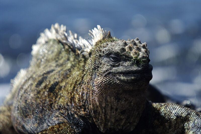 Boss, marine iguana, Galapagos . One Animal Animals In The Wild Focus On Foreground Wildlife Selective Focus Zoology Reptile Animal Head  Reptiles Reptile Photography Iguana Galapagos Islands