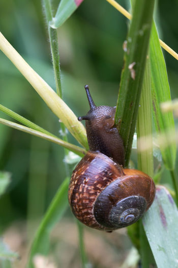 Blade Of Grass EyeEmNewHere Animal Themes Animals In The Wild Brown Close Up Close-up Copse Snail Crawl Day Fragility Gastropod Helicidae Nature Nature_collection No People One Animal Outdoors Slimy Slug Snail Wildlife