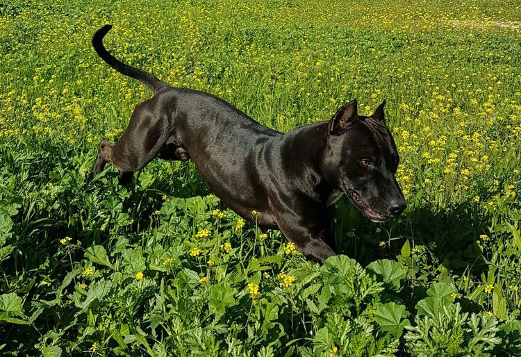 Animal Themes One Animal Grass Mammal Pets Domestic Animals Dog No People Green Color Growth Nature Outdoors Day Strong And Fibrous Dog Healthy Dog BlackDog