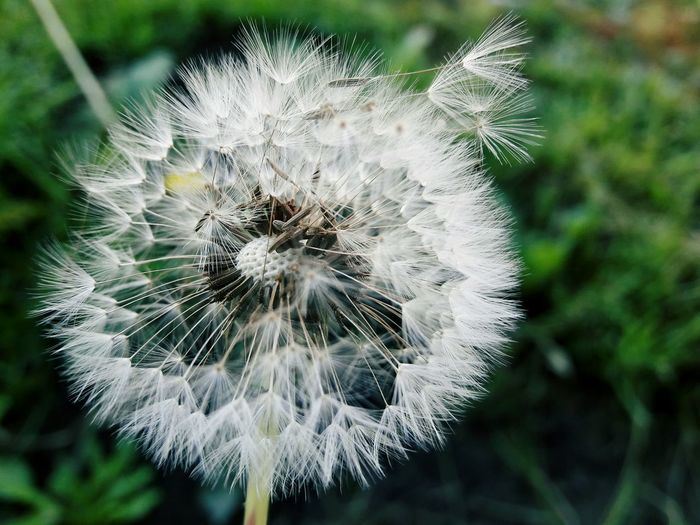 Capturando momentos...In Bloom Nature Single Flower Simplicity White Color Deceptively Simple Dandelion Dandelion In Spring Dandelion Macro Dandelion Seed Dandelion Wishes Dandelion Flowers FreshnessGrowth Seed Fragility Focus On Foreground Softness Plant Beauty In Nature