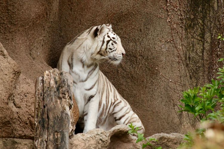 White tiger sitting by rock face at zoo
