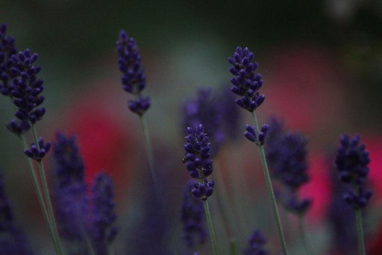 Lavender Flowers Growing Outdoors