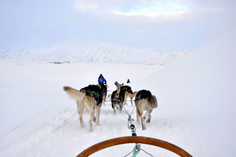 Sledding in the Arctic. Dog Sledding Dogs Huskies The Arctic Winter Adventure Snow Cold Mountains Wilderness Svalbard