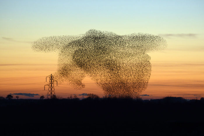 Gretna Murmuration Of Starlings Starlings At Dawn Starlings In A Tree Beauty In Nature Gretna Green Murmuration Murmurations Murmurations Skydancers Nature Silhouette Starlings Starlings Putting Up A Show Sunset Turtle Be. Ready.